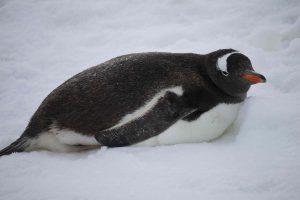 eselspinguin_1-small